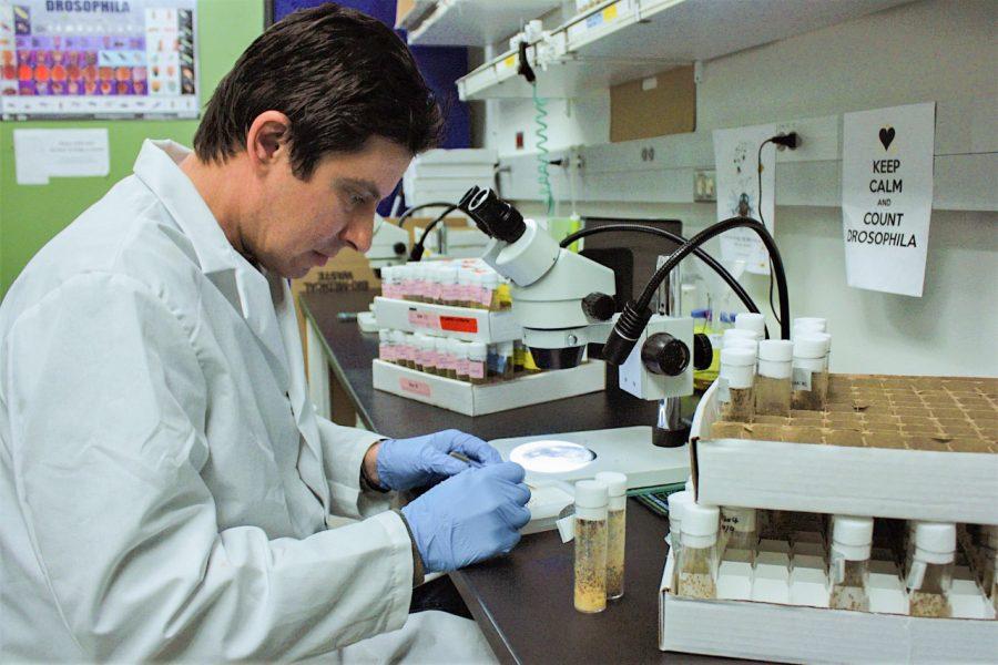 Alan Goodman, assistant professor of molecular biosciences at WSU, examines fruit flies under a microscope