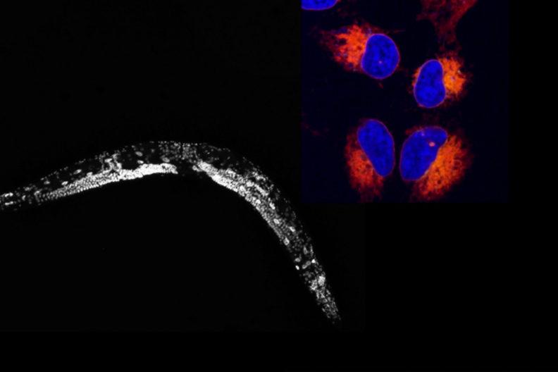 nematode cancer cells