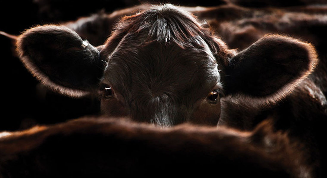 Close-up image of a hornless angus cow.